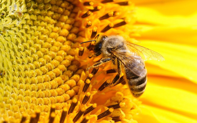 bee-wallpaper