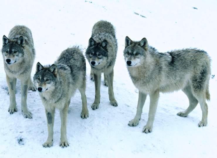 manajemen uplace-dnr-serigala