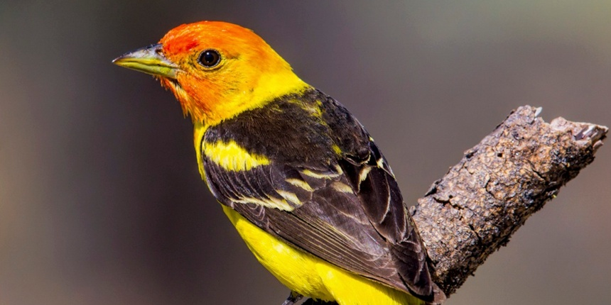 Western-Tanager-3_w